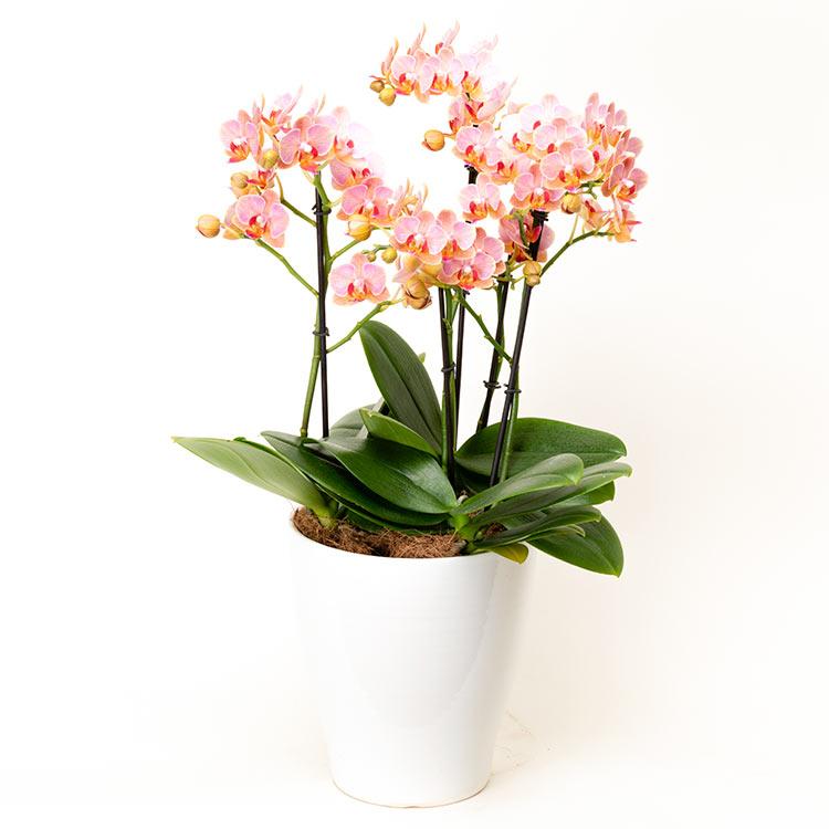 胡蝶蘭ミディタイプ02